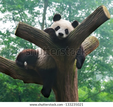 Panda bear funny pose in tree - stock photo