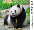 Panda bear growling and holding bamboo in paw - stock photo