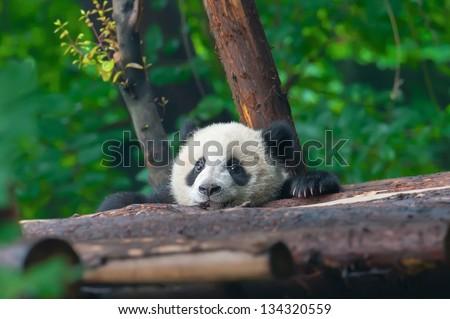 Panda bear head sticking out - stock photo