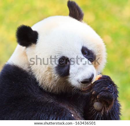 Panda bear in Chiang Mai Thailand - stock photo