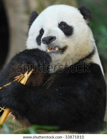 panda bear male eating bamboo, china 2 - stock photo