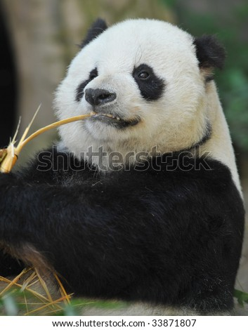 panda bear male eating bamboo, sichuan provence, south central china, asia. black and white bear chinese oriental symbol hungry feeding full frame close up