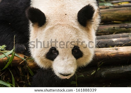 Panda bear stares closely at photographer in Chengdu Research Base of Giant Panda Breeding Center in Sichuan China - stock photo