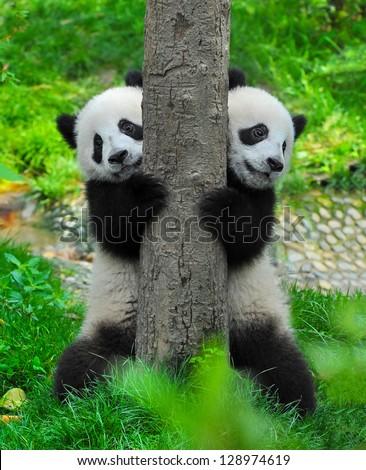 Panda bear twins - stock photo