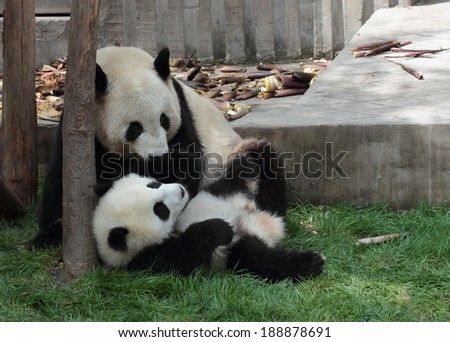 Panda cub lying on the grass watching mom or dad - stock photo