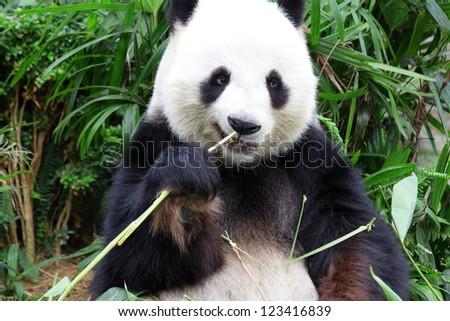 panda eat - stock photo