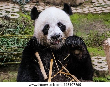 panda eating bamboo in Chiang mai zoo Thailand - stock photo