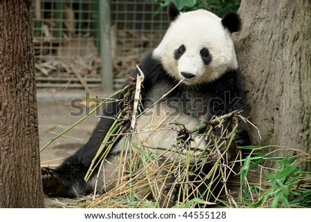 panda Eating Bamboos