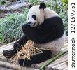 Panda enjoys eating bamboo - stock photo