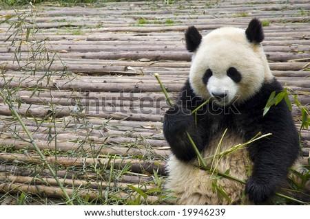 panda feeding - stock photo