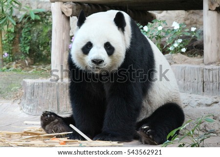 Panda in Thailand is having Bamboo Shoots