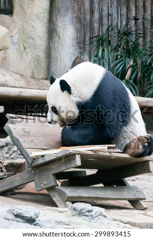 Panda is going to eat bamboo - stock photo