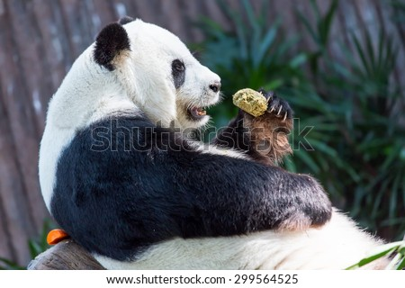 Pandas Eating Fish