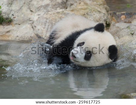 Panda playing in water - stock photo