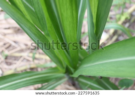 Pandan  trees planted in the soil - stock photo