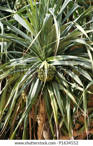 Pandanus - stock photo