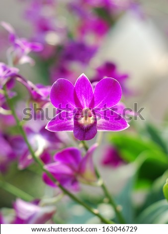 Panicle of orchids