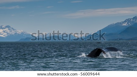 pano of two whales with mountains in background - stock photo