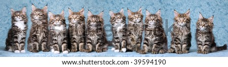 Panorama composite of ten Maine Coon kittens on mottled blue background - stock photo