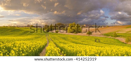 panorama field of blooming rapeseed