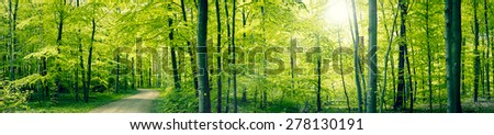 Panorama landscape of a beech forest in the spring - stock photo