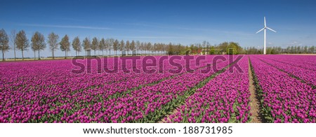 Panorama of a field of purple tulips and a wind turbine in Holland - stock photo