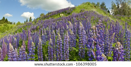 Panorama of a hill overgrown with lupines.