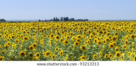 Panorama of a sunflower  field - stock photo