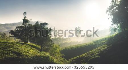 Panorama of Beautiful Sunrise Tea Plantation Concept - stock photo