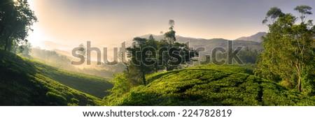 Panorama of beautiful tea plantation at sunrise. Kerela, India.  - stock photo