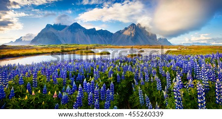 Panorama of Blooming lupine flowers on the Stokksnes headland on southeastern Icelandic coast. Iceland, Europe. Artistic style post processed photo. - stock photo