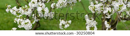 Panorama of blossoming cherry-tree, blurry green background - stock photo