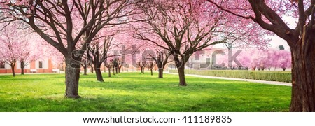 Panorama of Cherry blossom trees Alley in garden on a fresh green lawn at sunset - stock photo