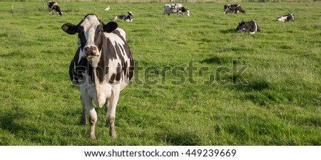 Panorama of Dutch Holstein Zwartbont cow in a green grass meadow - stock photo