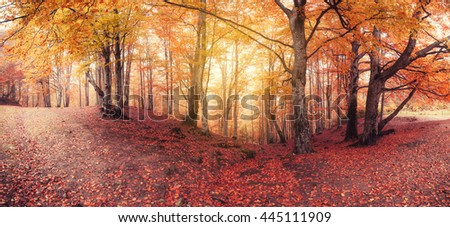 Panorama of fall colors old woodland - stock photo