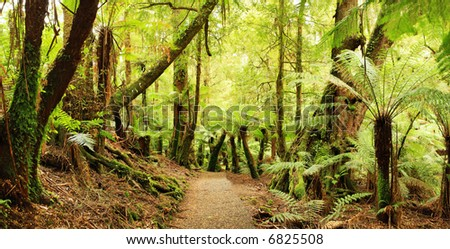 Panorama of path through a cool temperate rainforest, with treeferns and ancient myrtle beech trees.  Victoria, Australia.  XXL file. - stock photo