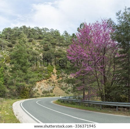 Panorama of serpentine highway turn with blossoming Cercis siliquastrum (Judas tree) on roadside. Cyprus.  - stock photo