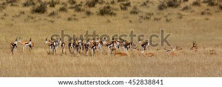 panorama of springboks - stock photo