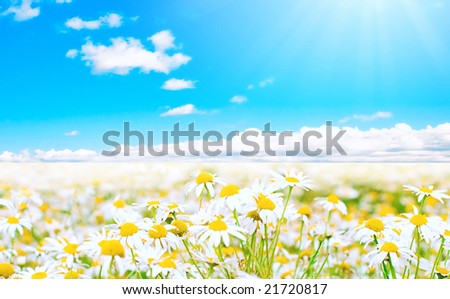 Panorama of sunlit field of daisies!