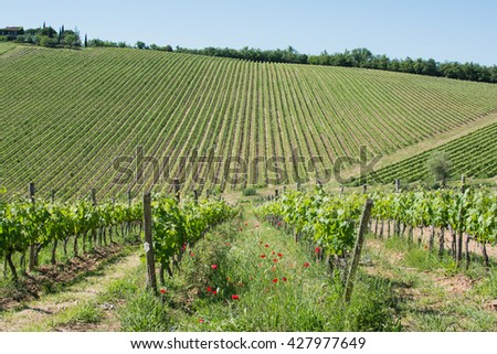 panorama of the Chianti hills in Tuscany with stone walls and cypress vines with dirt roads in Italy