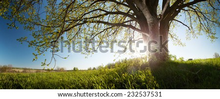 Panorama of the green spring meadow with oak tree - stock photo