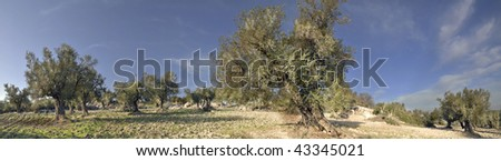 Panorama of the Olives Trees in Israel - stock photo