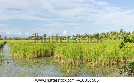 Panorama of the paddy rice field in Thailand
