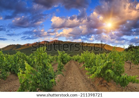 Panorama of the vineyards at sunset - stock photo