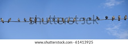 Panorama of twenty pigeons perched on electrical wires. - stock photo