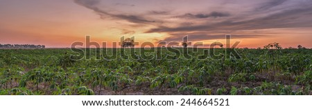 Panorama of twilight moment over the cassava field