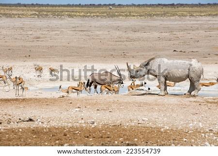 Panorama scene of Oryx, Zebra, Black Rhino & Springbok in Etosha National Park - stock photo