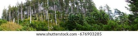Panorama, Tall stand of Douglas fir ( Pseudotsuga menziesii ) , Indian Beach in Ecola State park,   Oregon Coast