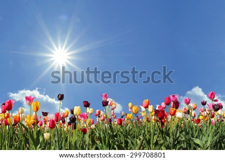 panorama tulips in various colors, blue sky with bright sunshine and free space - stock photo