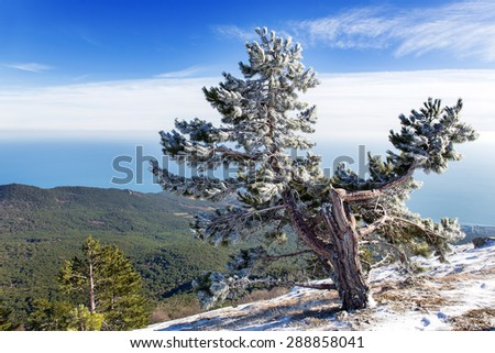 Panorama view from Ai-Petri mountain. Snow and iced pine trees on sunny winter day. Crimea, Black sea, Russia. - stock photo